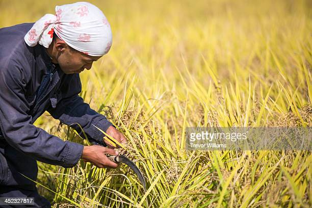 A young farmer checking the rice before harvest
