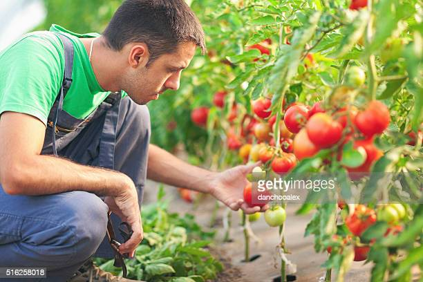Joven agricultor en un verde Casa con tomates