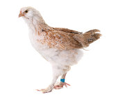 young Faverolles chicken in front of white background
