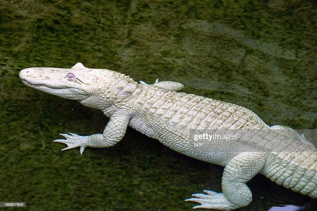 A young female albino alligator is seen in the water on March 26, 2014 at the park 'La planete des crocodiles' in Civaux, near the French western city of Poitiers.