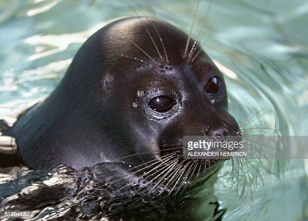 A young female Baikal seal called Leya swims in her pool in the special science laboratory on the bank of the lake of Baikal in the village of...