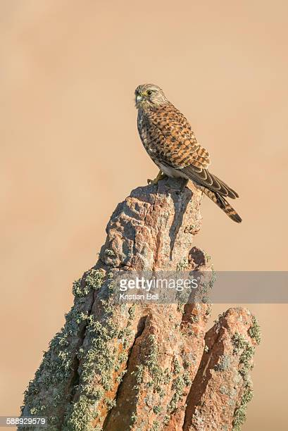 Young female common kestrel perched on rock