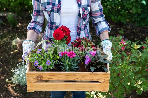 Young female gardener holding wooden crate full of flowers ready to be planted in a garden. Gardening hobby concept. : Stock Photo