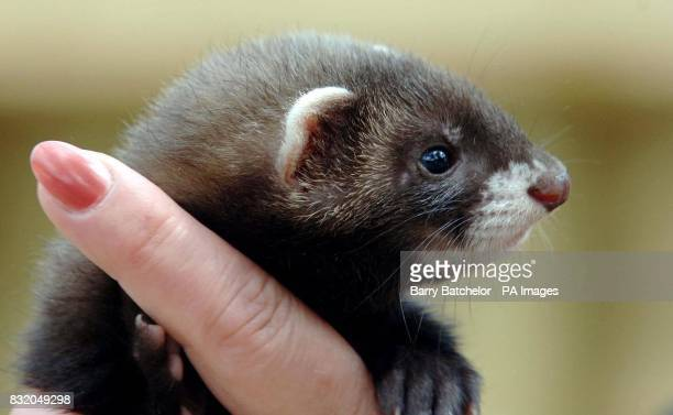 A young female polecat about nine weeks old which is going through a rehabilitation program at Gloucestershire Wildlife Rescue Centre in Hartpury...
