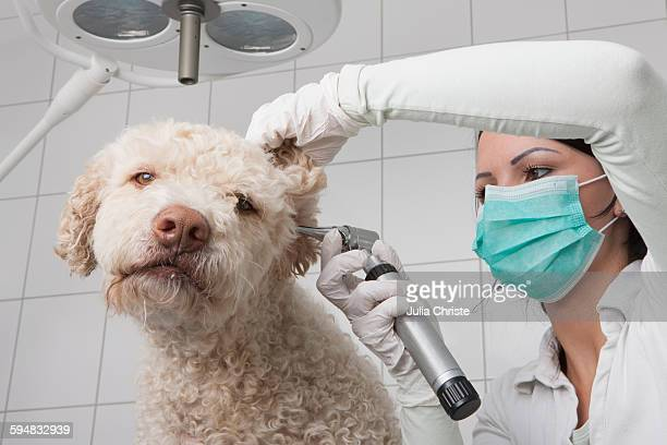 Young female veterinarian examining dogs ear with otoscope in clinic