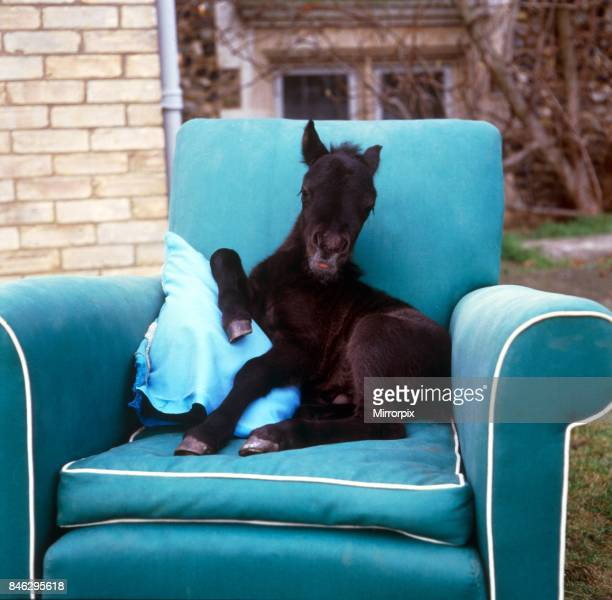 Young foal sitting on a comfortable chair at kilverstone Wildlife Park January 1987