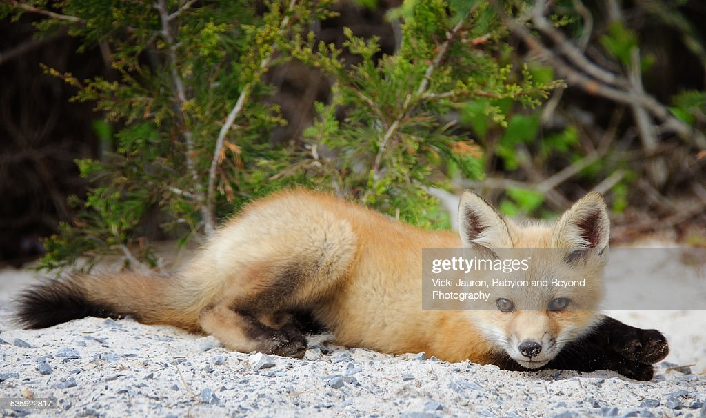 Young Fox Kit Posing for the Camera : Stock Photo