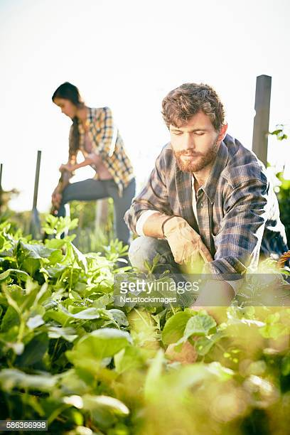 Young friends are gardening in organic farm