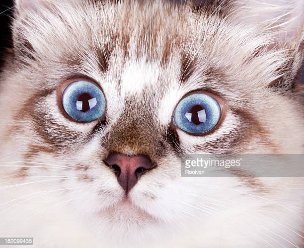 frightened young blue-eyed cat close up