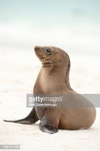 A young Galapagos Sealion
