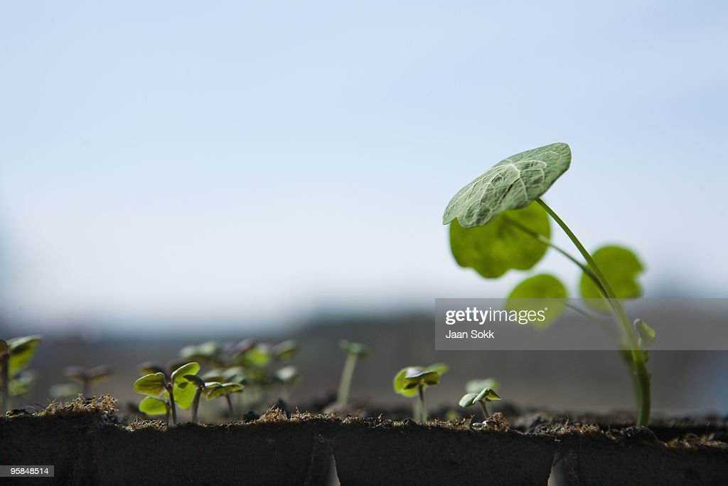 Young Garden Nasturium plants : Stock Photo