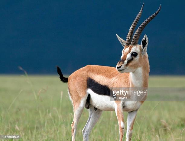 Young gazelle in profile