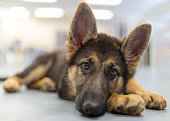 A relaxed 2-month old german shepherd puppy lays with her head on her paw looking at the camera
