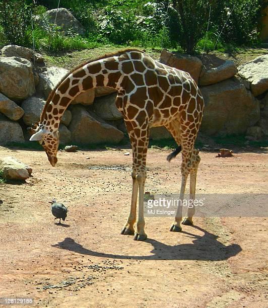 A young giraffe bending to look at a bird