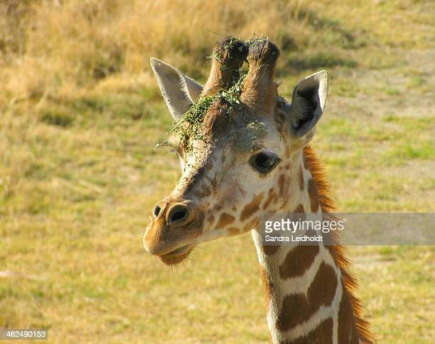 Young Giraffe with Grass on Head