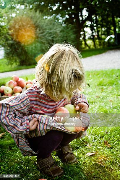 Young Girl 4 Year's Old Picking Apples in The Autumn