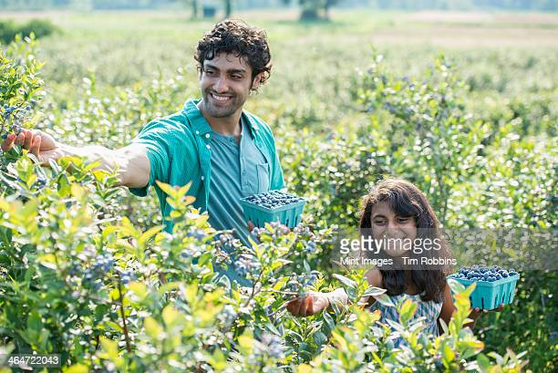 A young girl and a man standing surrounded by blueberry plants,harvesting the berries.