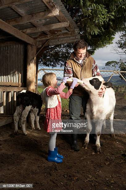 Young girl (6-7) assisting father in calf feeding