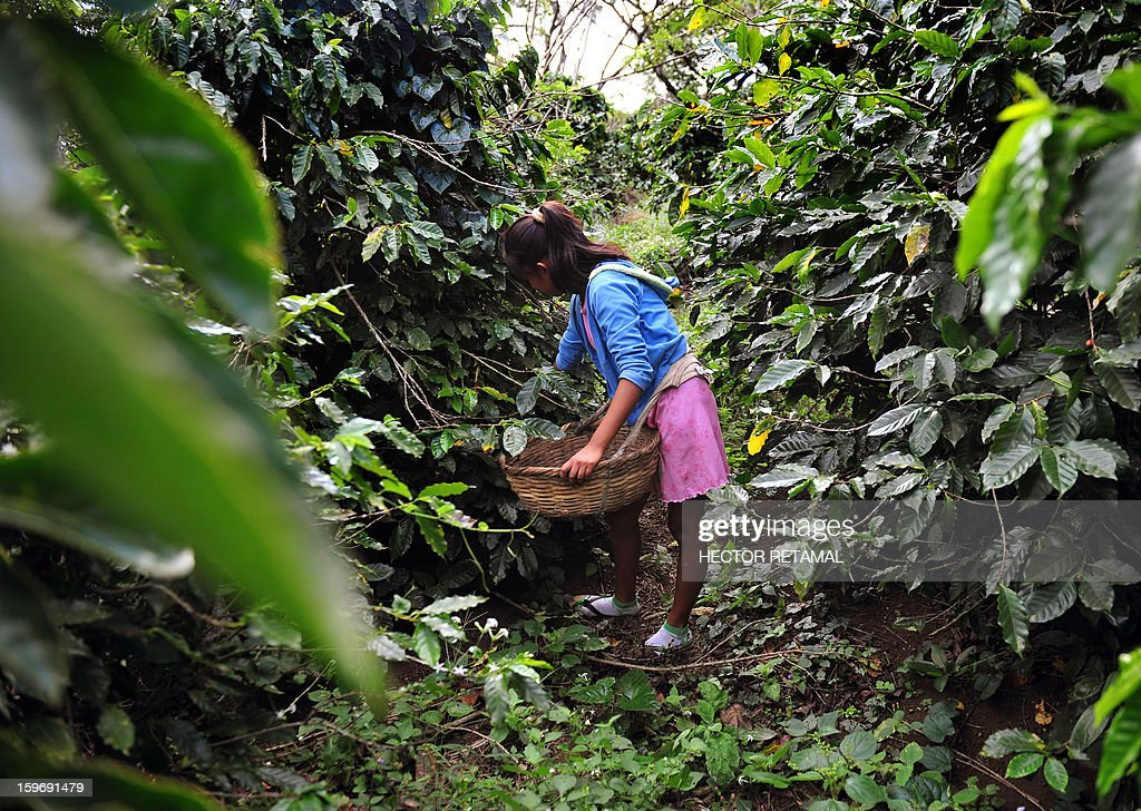 A young girl collects coffee beans at a farm in Cuatro Esquinas, on the outskirts of Diriamba some 32 km south from Managua, on January 17, 2013. . Central America, one of main producers of the best Arabica Coffee, is analyzing to take measures to combat the Roya (Puccinia graminis) blight already threatening more than one third of the grain crop, one of the region's major export items. AFP PHOTO/Hector RETAMAL