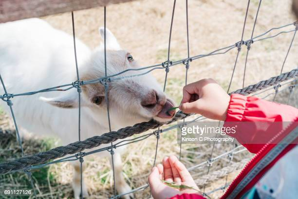 Young girl feeding grass to a lamb