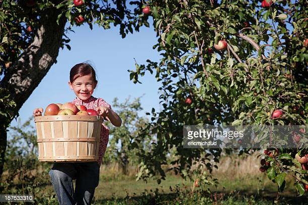 A young girl in an orchard picking apples