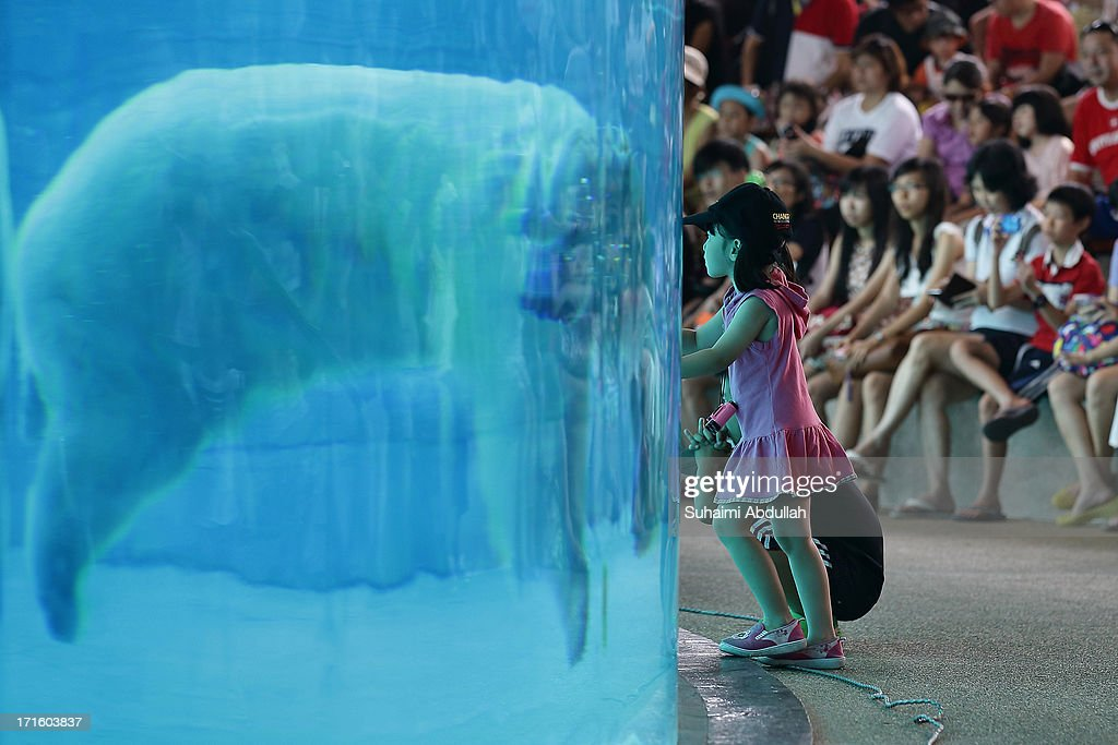A young girl looks on as the polar bear 'Inuka' swims in the frozen tundra enclosure at the Singapore Zoo on June 27 2013 in Singapore Home to more...