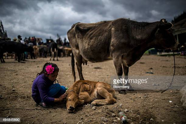 A young girl pets a calf at an auction and farmer's market in Bambamarca Peru on Sunday Oct 2015 Productivity in the Peruvian agricultural sector has...