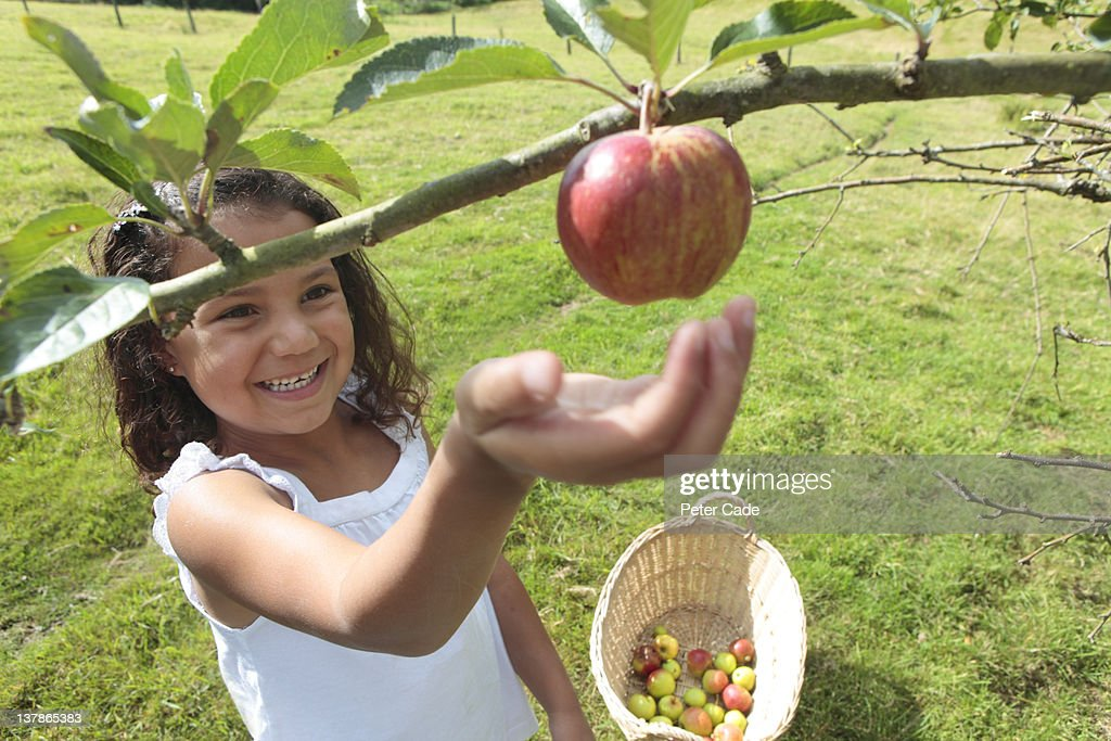 young girl picking apples : Stock Photo