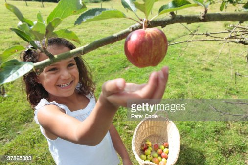 young girl picking apples : Stockfoto