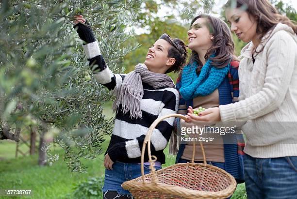 young girls picking olives together