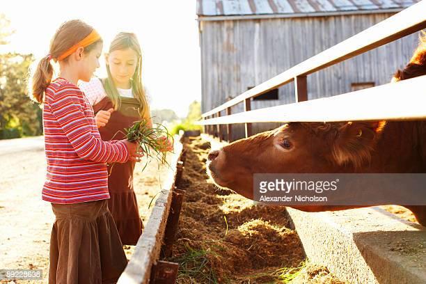 Young girsl feeding farm cow