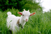 Young goat on grass field