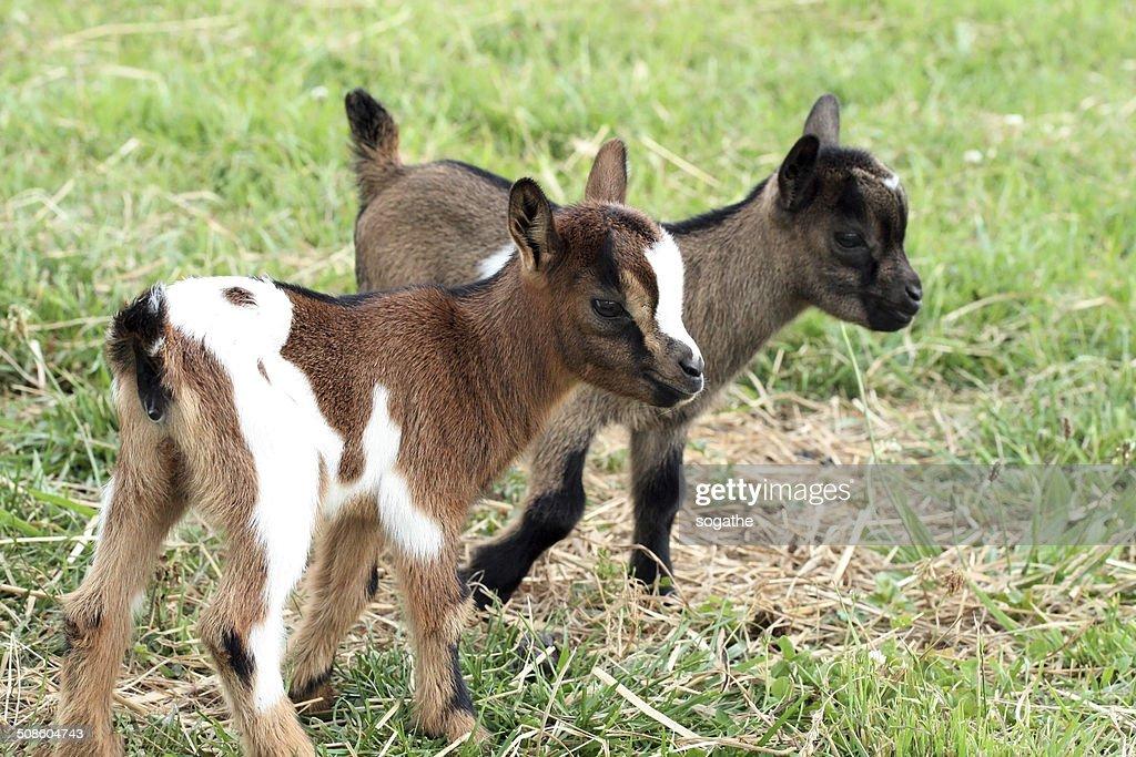 young cabras : Foto de stock