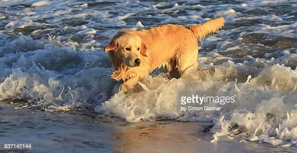 Young Golden Retriever on beach