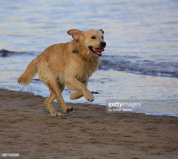 Young Golden Retriever on beach