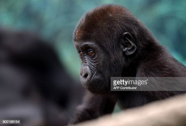 A young gorilla looks at the Beauval Zoo in SaintAignansurCher central France on June 23 2017 / AFP PHOTO / GUILLAUME SOUVANT