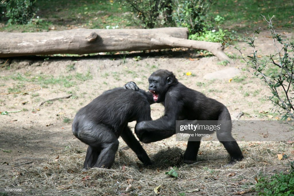 Young gorillas play at the Bronx Zoo's Congo Gorilla Forest Exhibit October 23, 2010 in the Bronx borough of New York City.