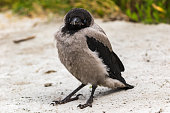 A young gray crow stands in the sand. Close-up. Warm summer day in the park. Wild nature.