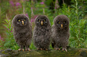 Young Great Grey Owls -Strix nebulosa-, Germany