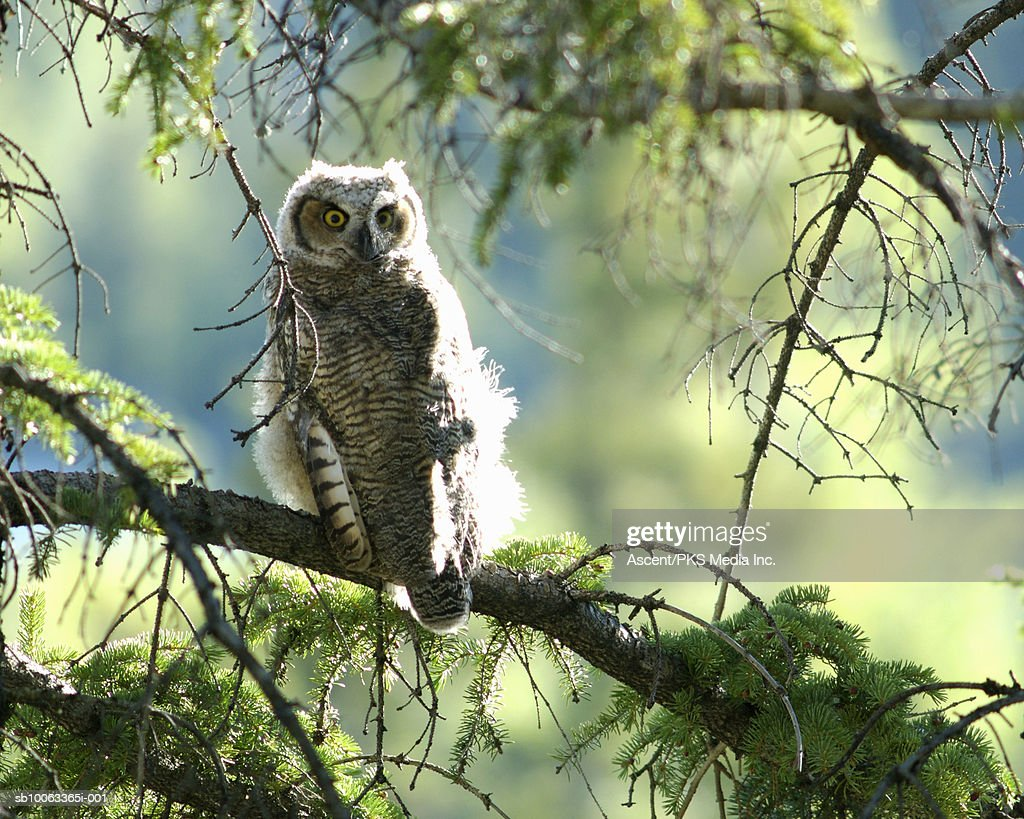 Young Great Horned Owl (Bubo virginianus) perching on branch : Stock Photo