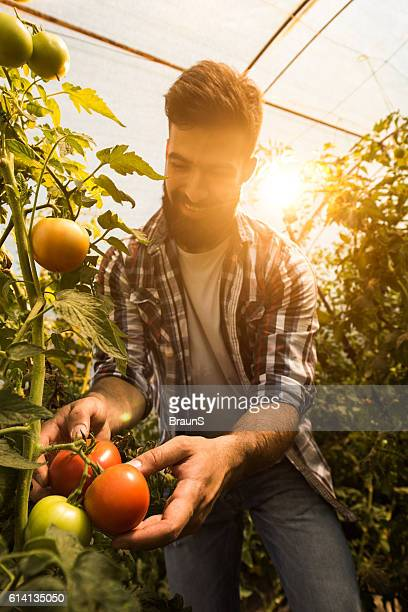 Young happy farmer picking tomatoes in a greenhouse.