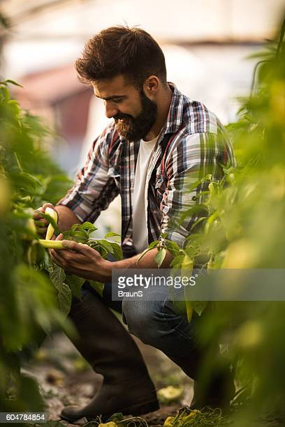 Young happy man picking fresh hot peppers in a greenhouse.