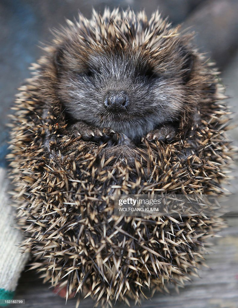 A young hedgehog has curled up into a ball in Berlin, on October 1, 2012. The small hedgehog weighs only 107 grams. Young hedgehogs weighing less than 250g are raised by hand. AFP PHOTO / WOLFGANG KUMM GERMANY OUT