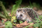 little young hedgehog (Erinaceus europaeus) in autumn forest looking for food in the undergrowth, selected focus, narrow depth of field