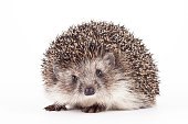 Prickly young hedgehog isolated background