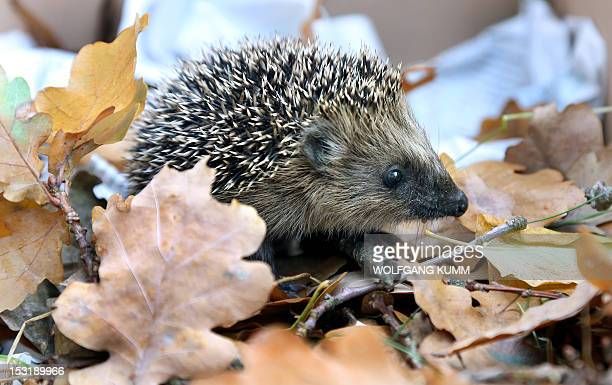 A young hedgehog scuttles through leaves in Berlin on October 1 2012 Young hedgehogs weighing less than 250g are raised by hand AFP PHOTO / WOLFGANG...
