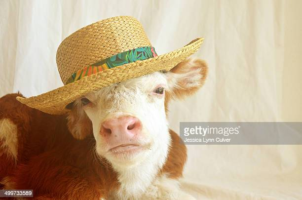 Young Hereford calf wearing a tropical straw hat