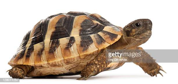 Young Hermann's tortoise