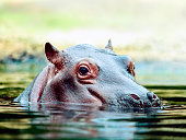 The portrait close up of young hippo.
