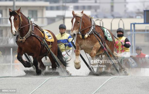 Young horses climb a slope during a capacity test before making their debut in a 'banei' horse racing event in Obihiro on Japan's northernmost main...